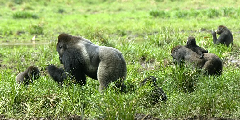 Lowland gorillas by Chris Worden
