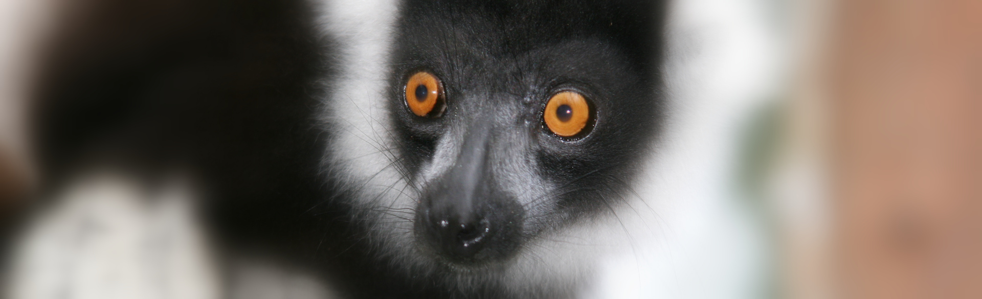 Lemur portrait by Trish Berry