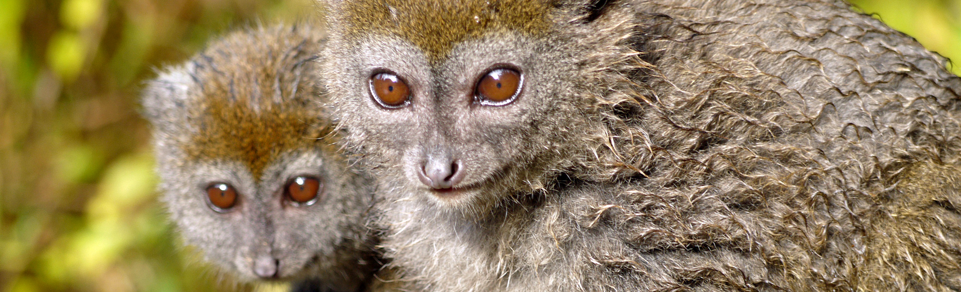 Brown lemur in Andasibe by Trish Berry