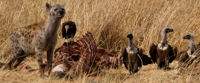 dynamicpages/spotted-hyena-and-vultures-on-hippo-carcass