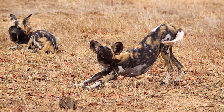 Cape Town safari - Wild dog stretching in Mana Pools by Trish Berry