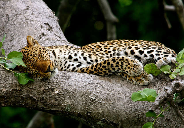 Leopards are widespread across our safari destinations but elusive at best. Zambia's Luangwa Valley is arguably your safest bet for capturing good shots. See us at Luxury Travel Fair London
