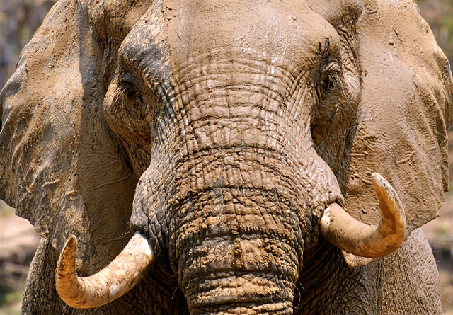 Elephants range widely in Africa's better protected reserves. Uniquely adapted to harsh desert conditions, rich riverine valleys and deep central African forests.