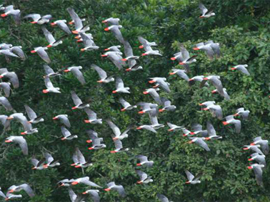 African grey parrots take flight in Central African Republic courtesy Rod Cassidy