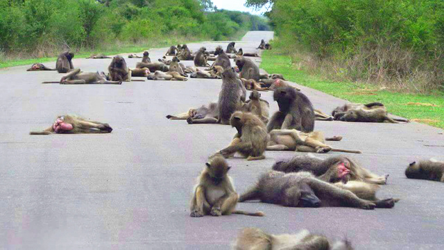 Troop of baboons taking a mid-day nap on a warm tarmac courtesy Lee Caterson